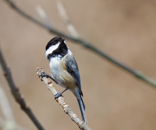 Black-capped Chickadee; Lake Park, Milwaukee, WI; April