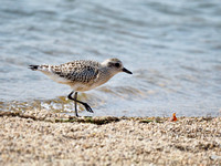 Black-bellied Plover; Lakeshore State Park, Milwaukee, WI; September