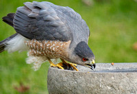 Cooper's Hawk stops in for a drink.