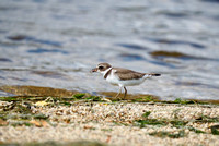 Semipalmated Plover with a bit to eat.