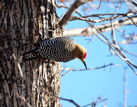 Gila Woodpecker, showing his red crown.