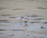 Piping Plover, Florida.