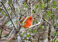 Summer Tanager, immature male.