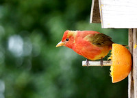 Summer Tanager enjoying the orange.