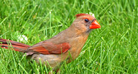 Northern Cardinal; Whitefish Bay, WI; June