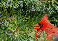 Northern Cardinal; Whitefish Bay, WI; July