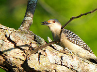 Red-bellied Woodpecker; UW Madison Arboretum, WI; May