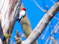 Red-headed Woodpecker; Lake Park, Milwaukee, WI; May